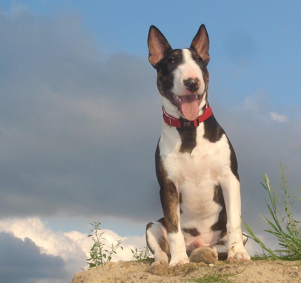E Cattivo Il Bull Terrier Bull Terrier: un amico...