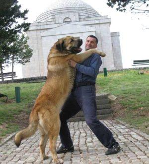 Pastore del caucaso un perfetto e diplomatico guardiano for Casa progetta il trotto del cane