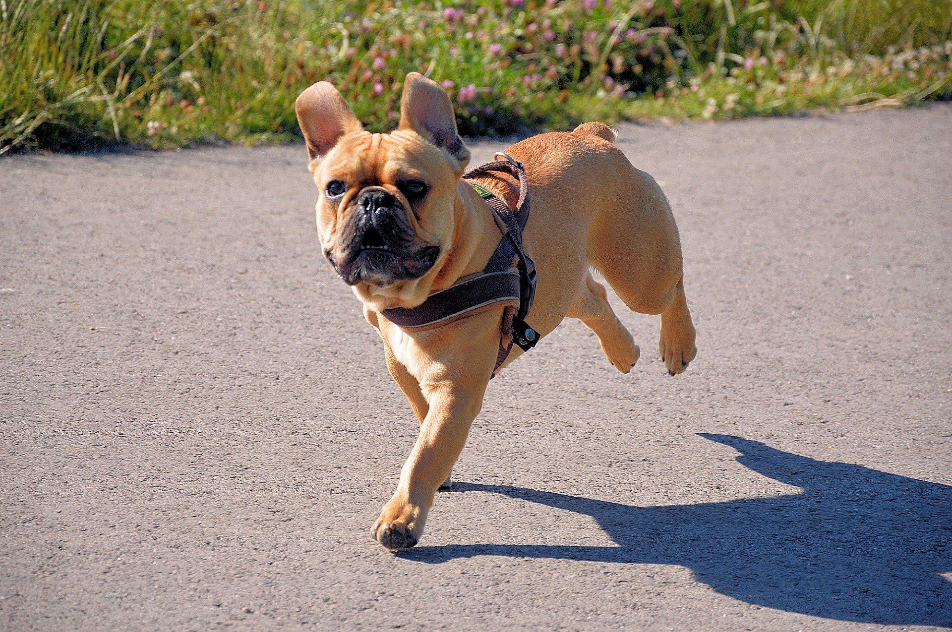 Bulldog francese ambiente ideale caratteristiche e indole for Affettuoso in inglese