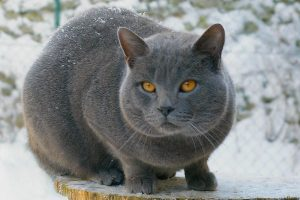Gatto-certosino-maschio