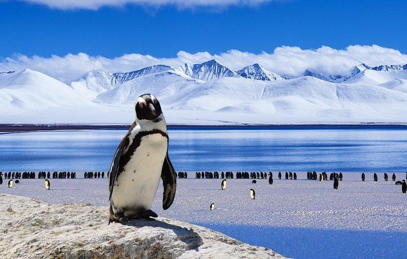 Connu Il Pinguino: l'uccello socievole e buffo che rischia l'estinzione ZP09