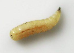 Mosca-larva
