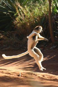Lemure-Sifaka