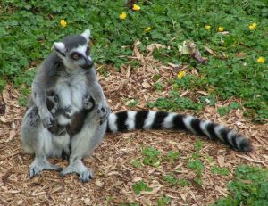 Lemure-catta