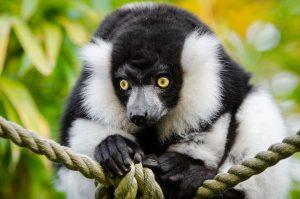Lemure-indri