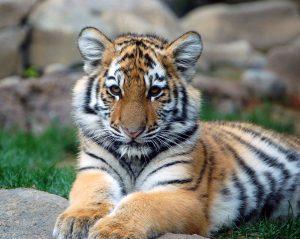 Tigre-della-cina-meridionale
