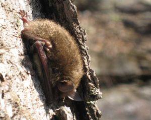 Dove-vive-pipistrello