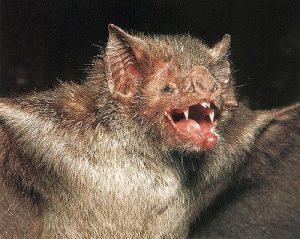 Pipistrello-vampiro