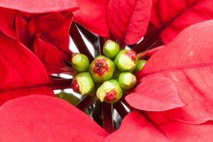 Stella-di-Natale