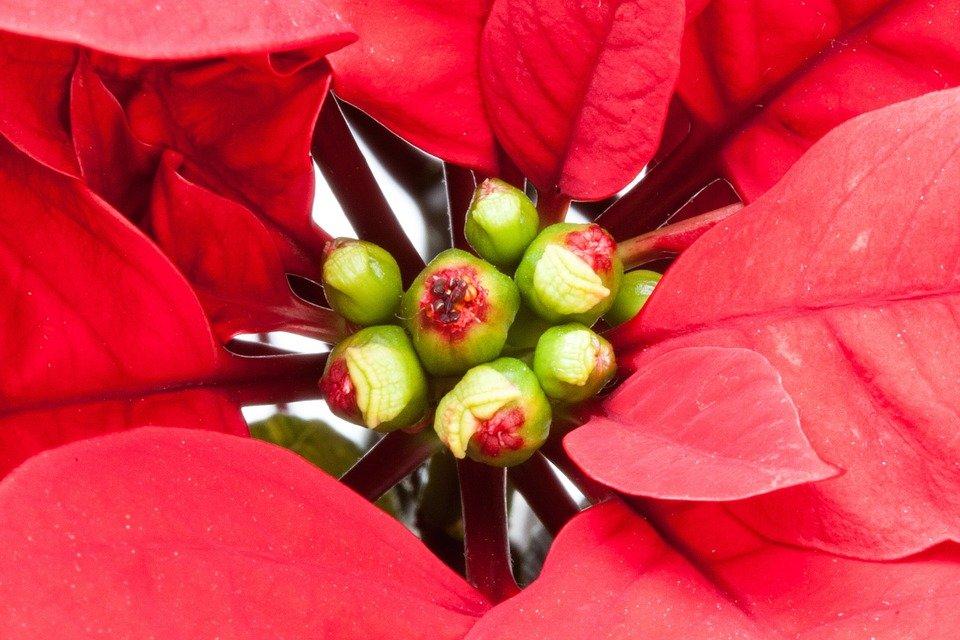Come Mantenere Stella Di Natale.Stella Di Natale Come Coltivarla E Farla Rifiorire L Anno Prossimo
