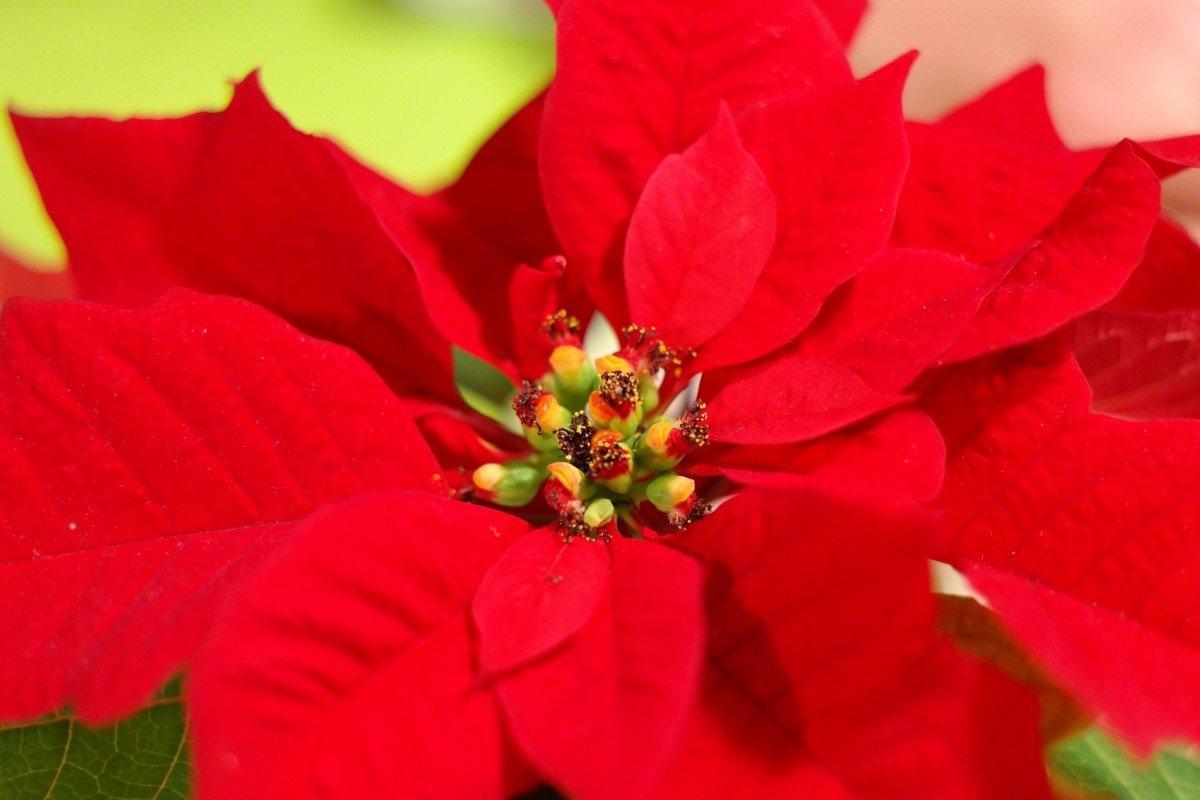 Foto Di Stelle Di Natale.Stella Di Natale Come Coltivarla E Farla Rifiorire L Anno