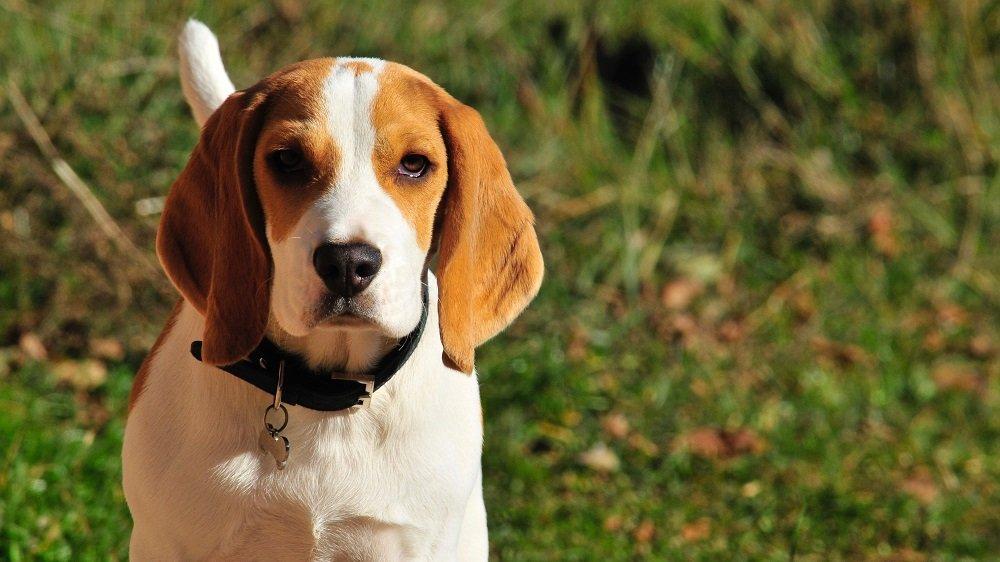 Il beagle appartiene alle razze di cani di taglia media, ma sono sempre più  diffusi anche gli esemplari nani che hanno dimensioni più piccole del  normale.