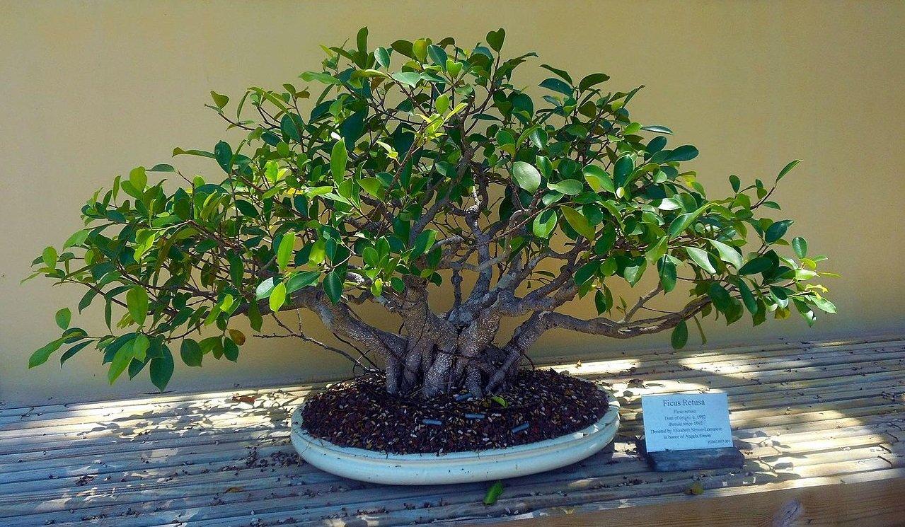 Bonsai Ficus Come Curarlo Al Meglio A Seconda Della Specie