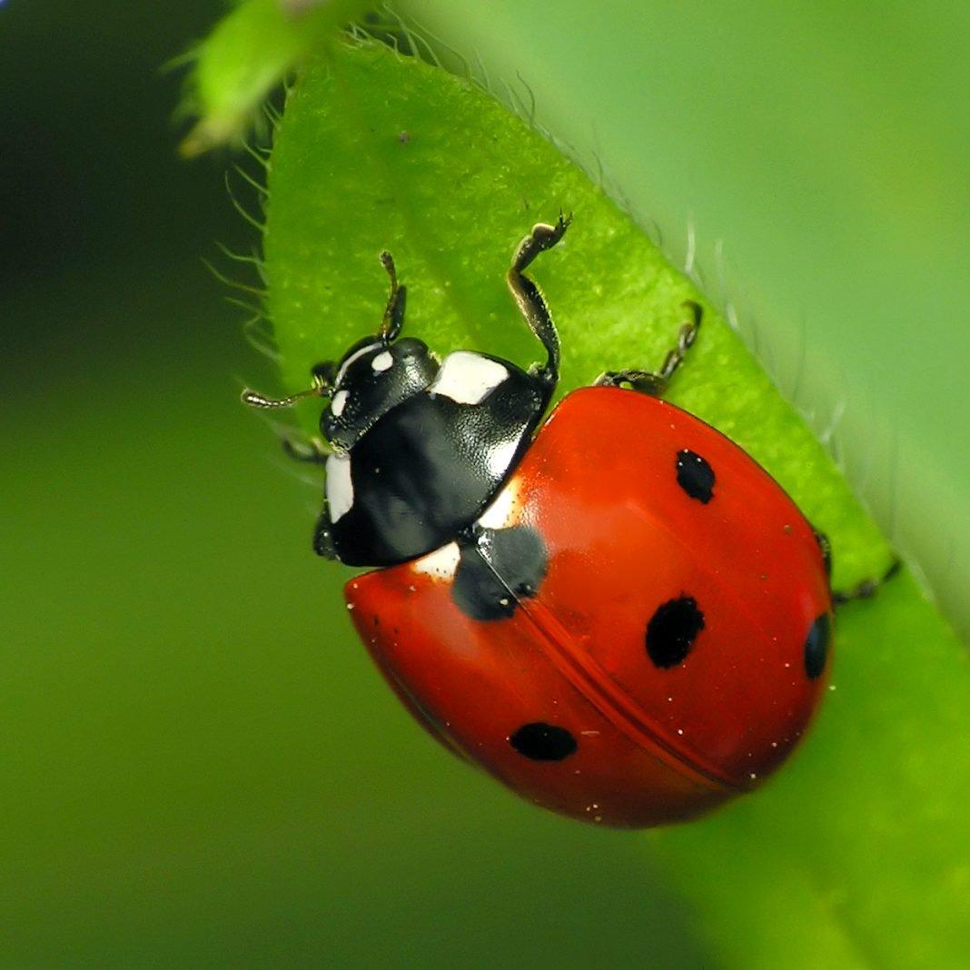 Coccinelle: informazioni e curiosità sugli insetti porta ...