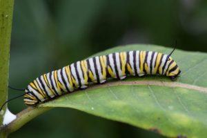 Farfalle-bruco
