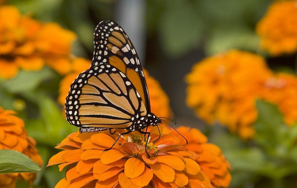 Il ciclo vitale delle farfalle alla scoperta di questi - Immagini di farfalle a colori ...