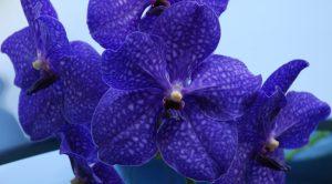Orchidea-blu-vanda