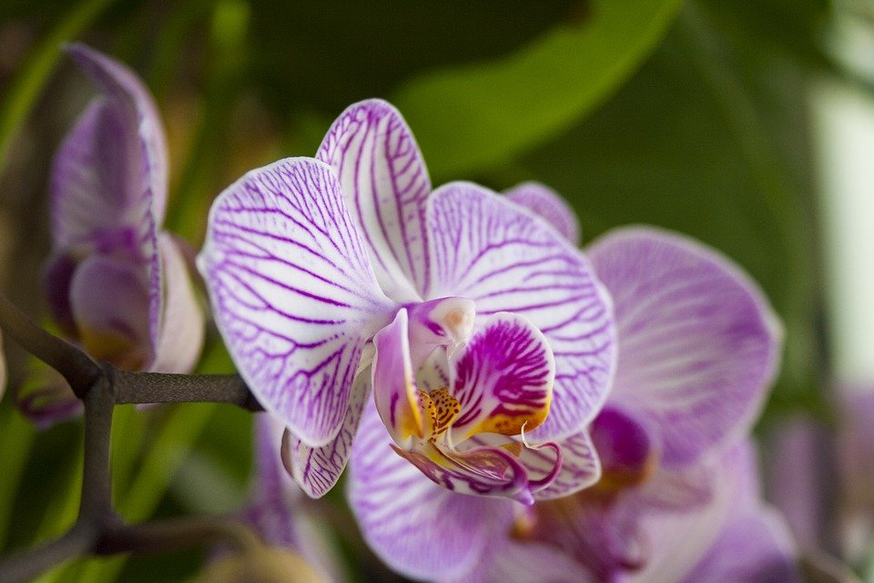 Orchidea phalaenopsis innaffiatura fioritura e come for Orchidea fioritura