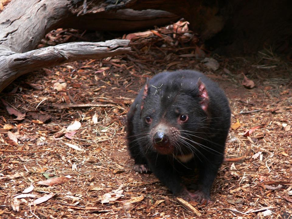 Diavolo della tasmania caratteristiche di questo marsupiale