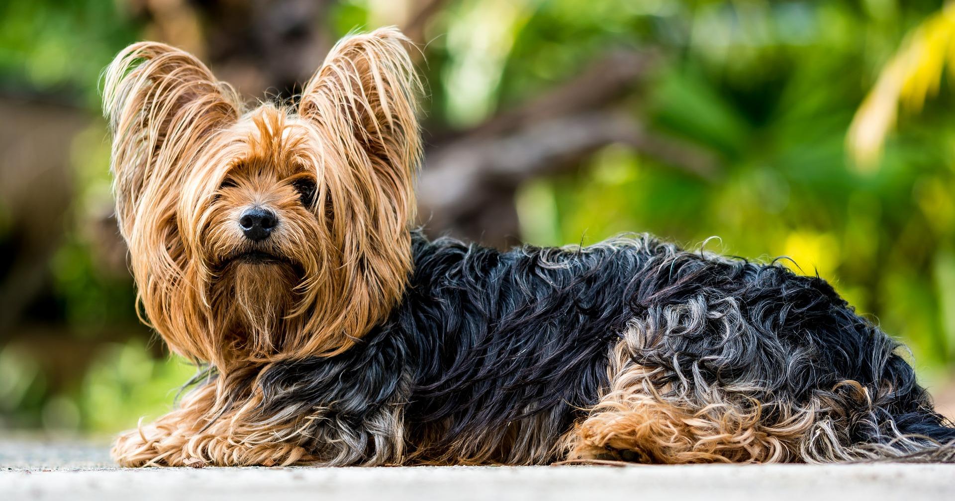 yorkshire-terrier-361730_1920