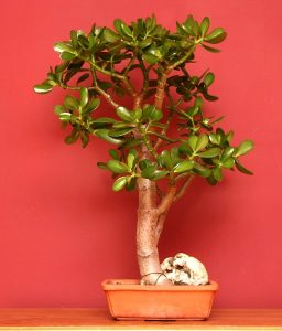 Crassula-bonsai