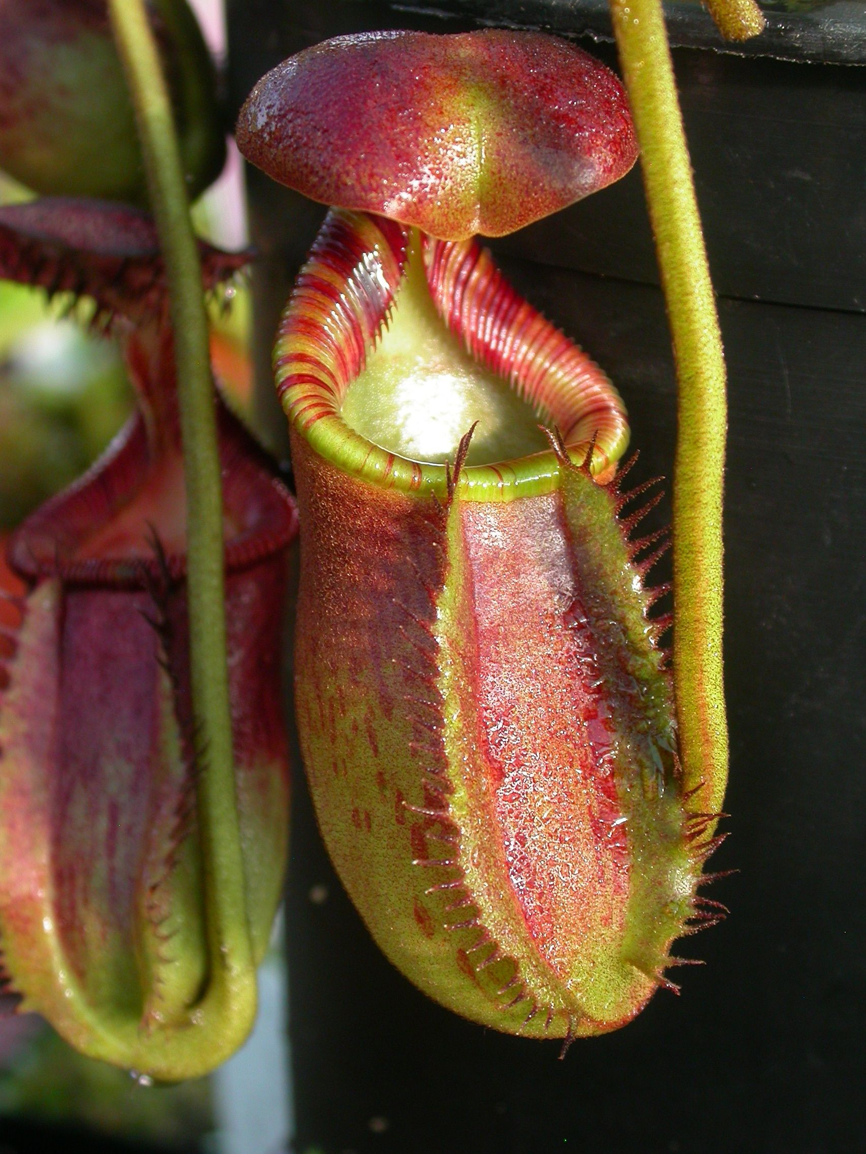 Piante Carnivore Nepenthes