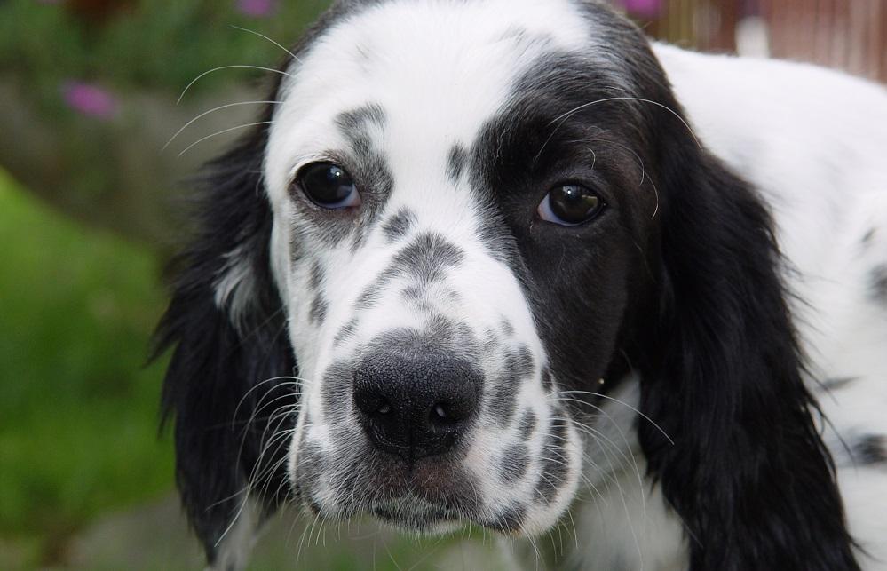 Setter inglese un cane giocherellone che ama correre all for Cane setter