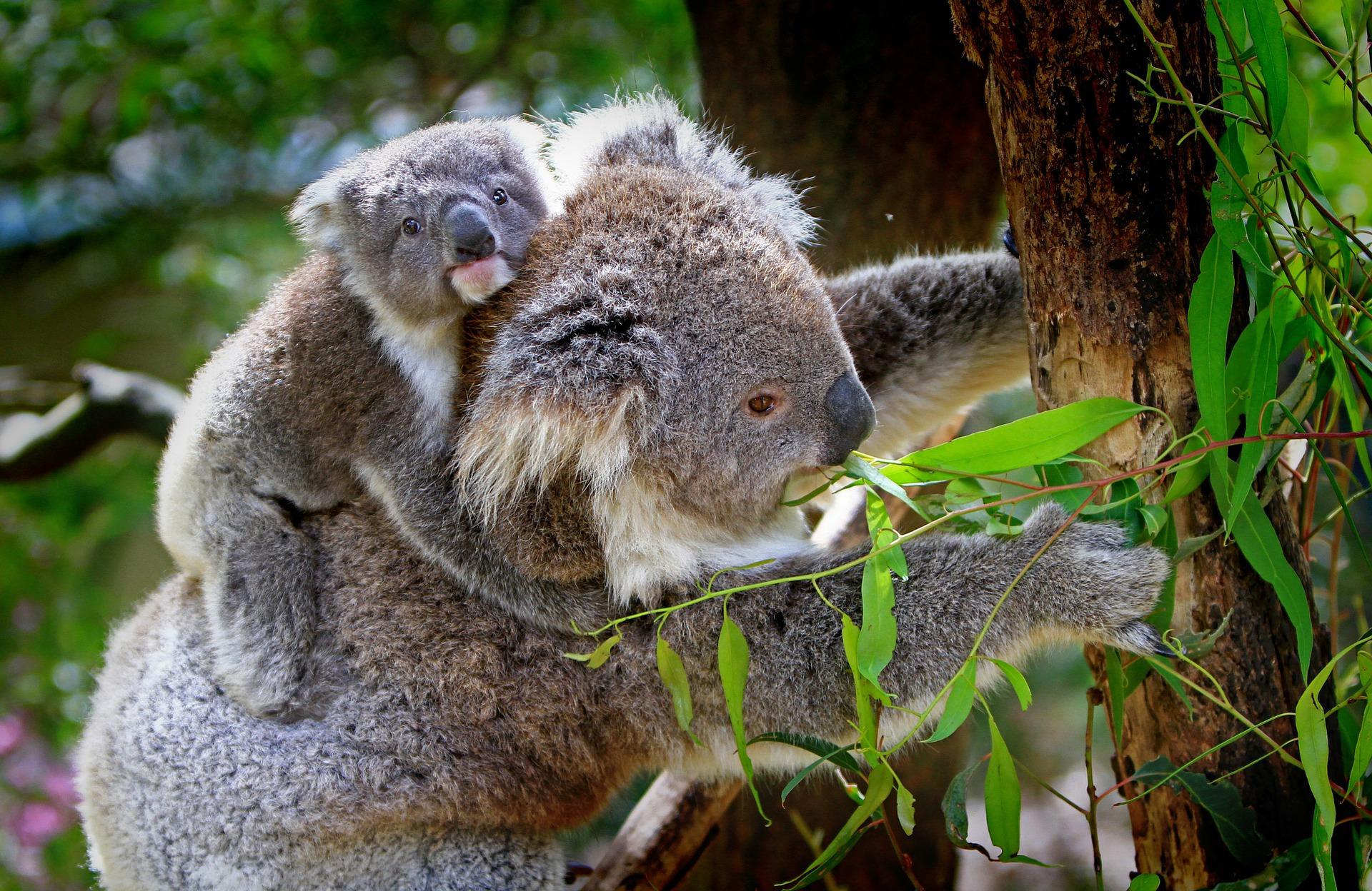 koalas-61189_1920
