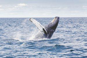 Greenpeace-balene