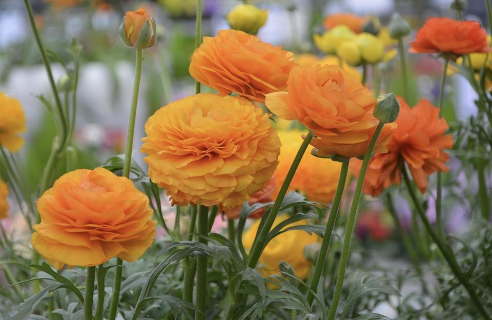 Fiori Che Assomigliano Alle Rose.Ranuncolo Coltivazione Fioritura Significato E Curiosita