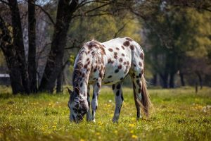 Cavalli-appaloosa