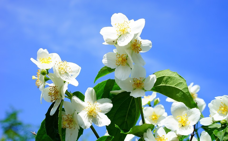 Fiori bianchi le 5 variet pi belle e semplici da coltivare for Fiori semplici