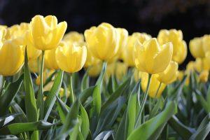 Tulipani-gialli
