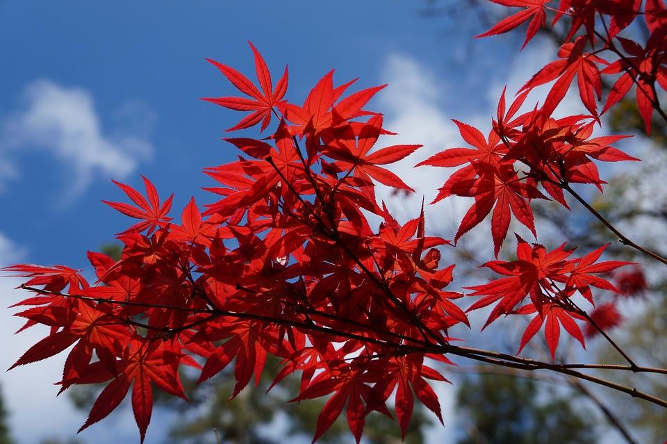 Acero rosso variet e guida alla coltivazione in vaso o for Acero giapponese in vaso