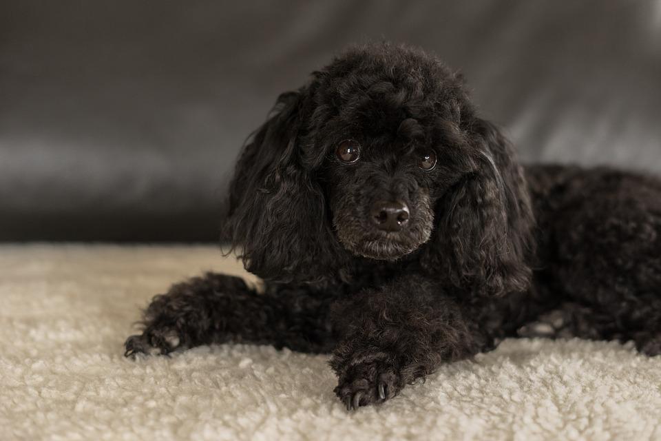 Barboncino il perfetto cane da compagnia sensibile come for Carattere barboncino