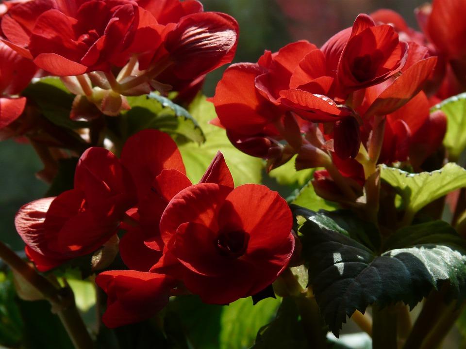 begonia specie esposizione consigliata e altri consigli per la coltivazione. Black Bedroom Furniture Sets. Home Design Ideas