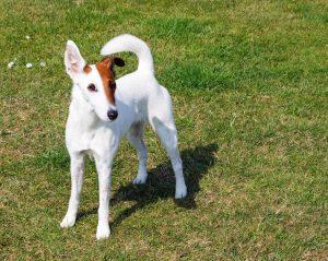 Fox-terrier-a-pelo-liscio