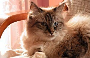 Gatto-siberiano