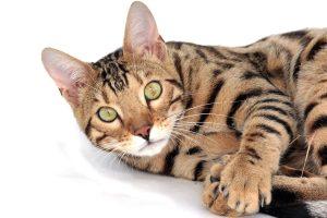 Gatto-del-bengala