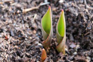 Bulbi-tulipano