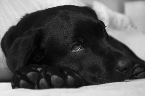 Castrazione-cane