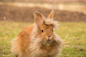 Coniglio-nano-testa-di-leone