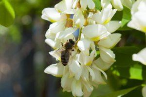 acacia-fiore
