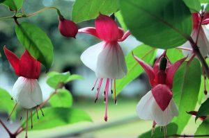 Fucsia-pianta