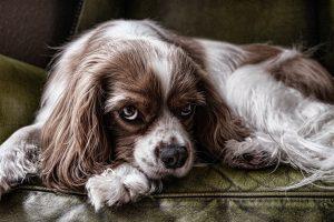 Sterilizzazione-cane-femmina