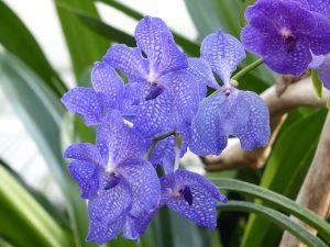 Orchidea-vanda