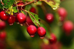Solanum-capsicastrum