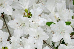 Azalea-bianca