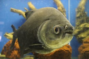 Piranha-acquario