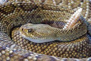 Serpente-a-sonagli-suono